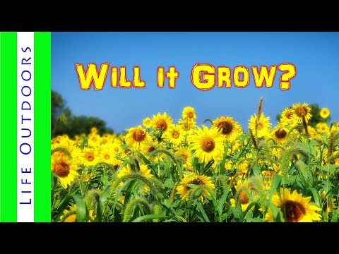 Will Sunflowers Grow From Birdseed (part 2)