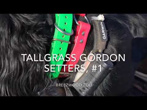 Tallgrass Gordon Setters, #1