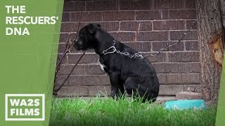 Gambar cover Chained Dogs Everywhere in Detroit As WA2S Films Reports To Dog Saviors Team EP #21 The Rescuers DNA