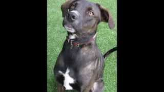 Rosko, A Beautiful Weim Mix Available For Adoption