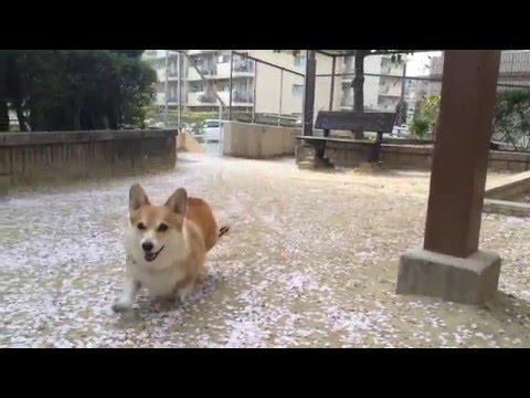 2016春 桜吹雪とコーギー - YouTube
