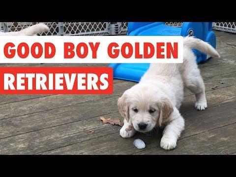 Good Boy Golden Retrievers  Funny Dog  Compilation 2017