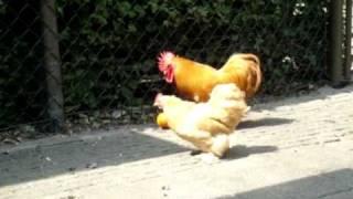 Chicken playing soccer!