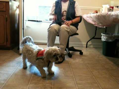 Shih Tzu Yorkie Mix Hearing Service Dog Obeying Hand Signals And