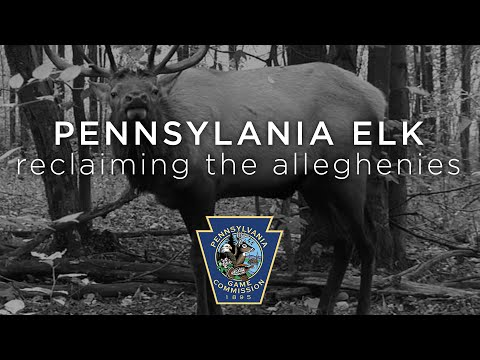 Pennsylvania Elk: Reclaiming the Alleghenies (c) 1999