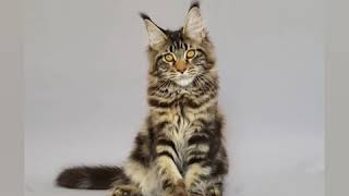 Чёрная мраморная кошка мейн кун по имени Жатва (5 месяцев)