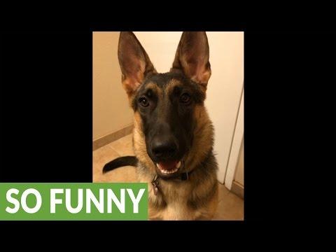 German Shepherd puppy learns how to wink