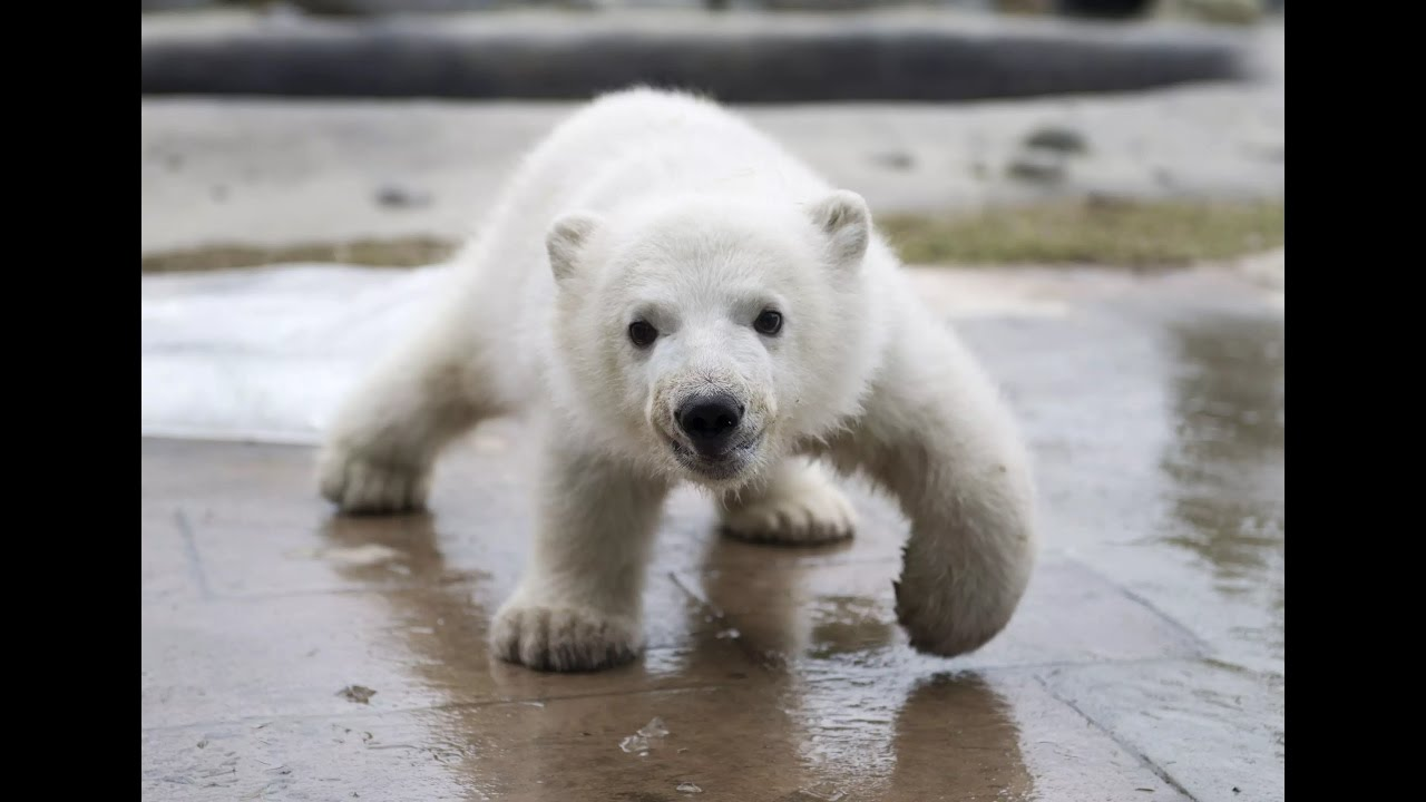 Cute Baby Polar Bear Playing Compilation Youtube