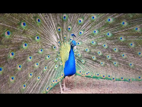 मोर नृत्य Peacock Dance Complete 2:20 & Screams High Quality HD, Pfau schlägt Rad , by Ute Neumerkel