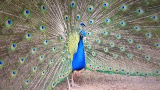 मोर नृत्य Peacock Dance Complete 2:20 & Screams High Quality HD, Pfau schlägt Rad , by Ute Neumerkel