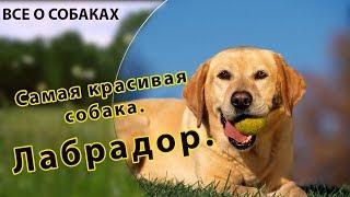 Самая красивая собака. Лабрадор.