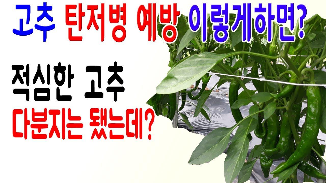 장마대비고추탄저병예방 고추탄저병식초 고추탄저병목초액 고추칼슘부족