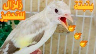 بتبته حسون هيجان زلزال للتحفيزوتجهيز طائر الحسون في غيار الريش | اتحداك ان لم يغرد مع هذه البتبته