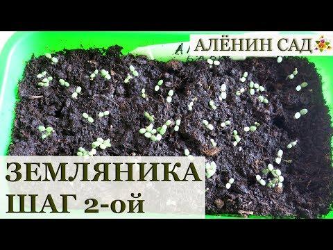 Земляника из семян. Всходы. Что делать дальше? | землянику | земляника | вырастить | аленин | семян | сад | как | из