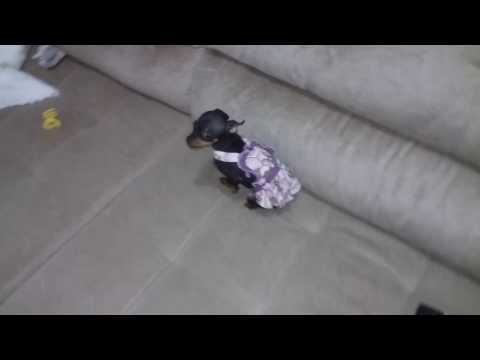 Pinscher 0 tifani não quer sair do sofá