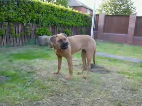 Bullmastiff 6 Months Old Youtube