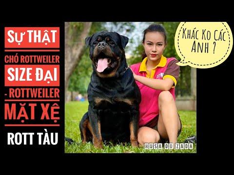 Sự Thật Về Chó Rottweiler Mặt Xệ/ Hay Rott Size Đại – Rott Tàu/ NhamTuatTV – Dog in Vietnam