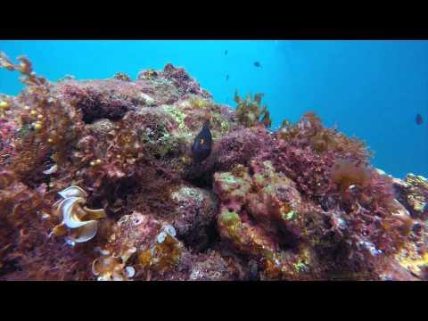 ep01. Jewel Damsel Fish #Fish Dictionary # Cebu Diving #New Grand Bleu Dive Resort