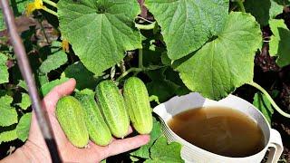 Огурцы плодоносят как заведенные до октября с этими секретами! Секреты выращивания огурцов от профи!