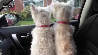 Westie Pups Reunite With Mum and Aunt After 3 Years!
