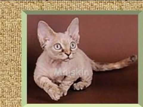 Dwarf Cats and Miniature Cats