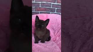 Бурманский котёнок Adonis. Окрас соболиный. Питомник бурманских кошек Freya Way