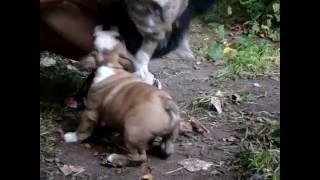 Щенок английского бульдога, тигровый мальчик, видео 1.