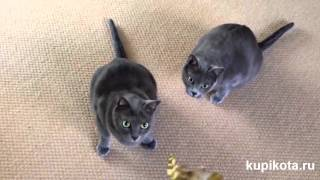 Корат - породы кошек