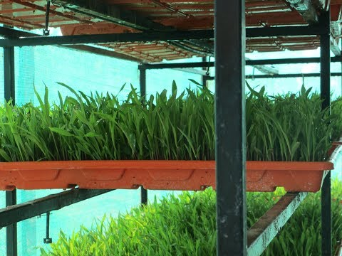 Hydrophonic method of Green Fodder Production