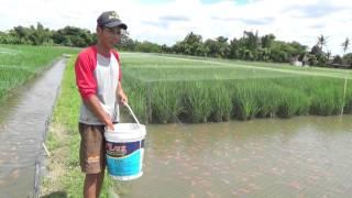 Rice Fish Farmers, CIbuk Village