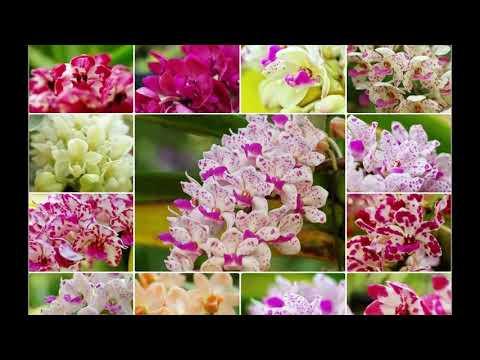 Rhynchostylis Gigantea Orchids Garden - Vườn lan ngọc điểm