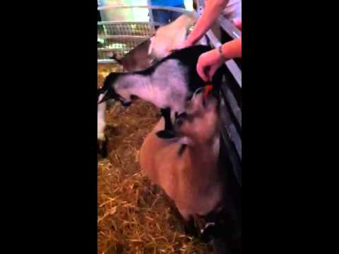 More cute goats