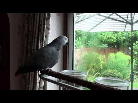 [Spikie] Talking African Grey Parrot asking for Food