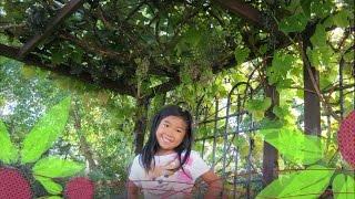 Backyard Grapes Arbor Pergola Summer Update - August 2015