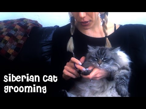 Grooming a Hypoallergenic Siberian Cat