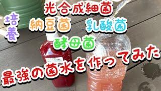 【家庭菜園】光合成細菌・納豆菌・乳酸菌・酵母菌で最強の菌水作ってみた!!