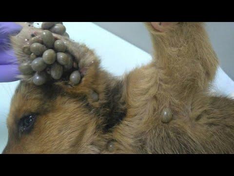 Клещи высасывали из собаки жизнь