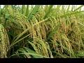 INILAH!!  Rahasia Cara Menanam Padi Darat Sistem Olah Tanah Sempurna