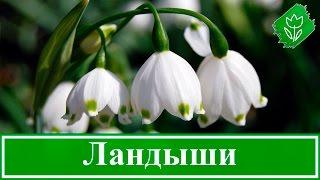 Цветок ландыш – посадка и уход; выращивание в саду; ландыш после цветения
