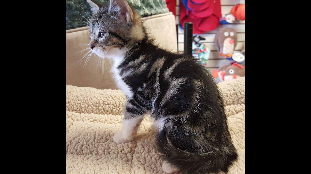 Layla, lovely marble Bangal mix rescue kitten... - YouTube