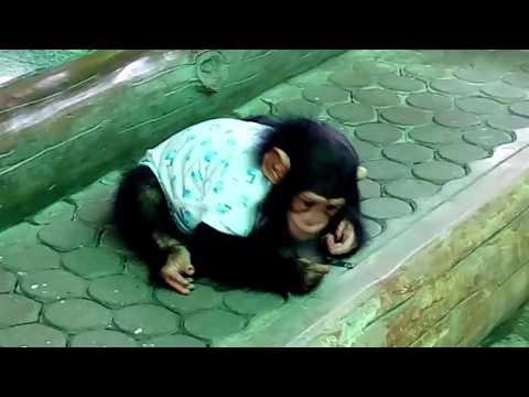 To Watching  Baby Chimpanzee Naughty