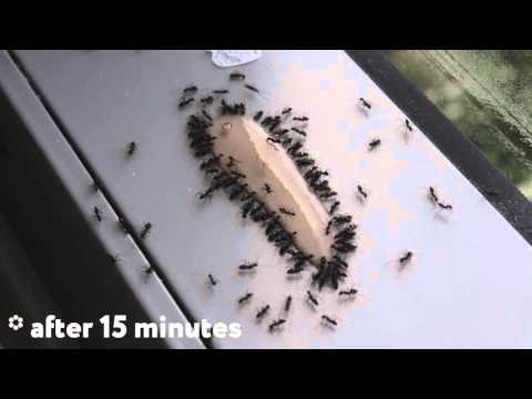 ANT GEL is the best way to kill ants. TIMELAPSE.