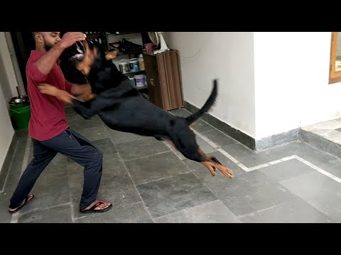 Fighting with Rottweiler : [ Bolt ]
