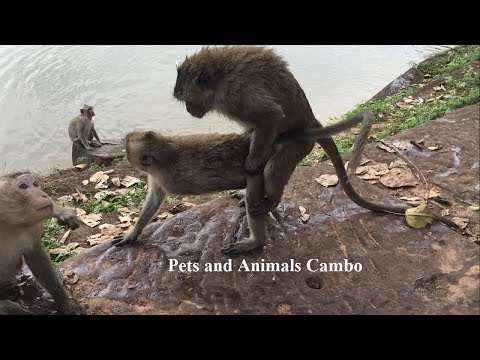 OMG !! What Monkey Try To Do ? Amazing Monkey Meeting | Pets And Animals Cambo P383