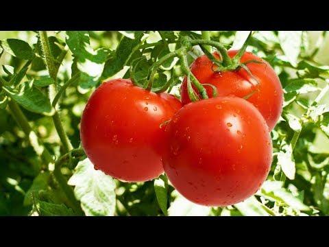 فوائد مدهشة للطماطم ستجعلك تتناولها كل يوم – جرب بنفسك