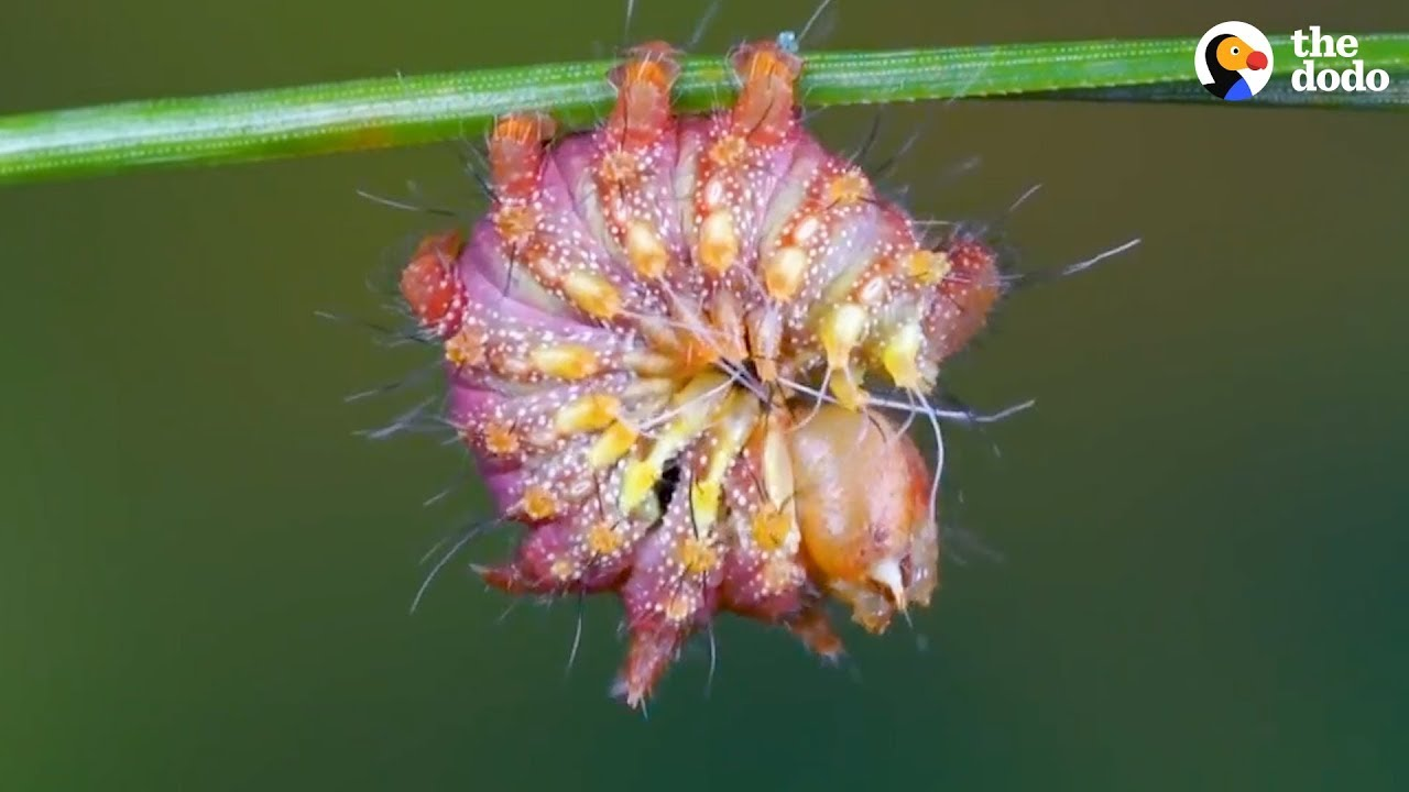 Watch This Caterpillar Turn Into A Chinese Luna Moth | The Dodo
