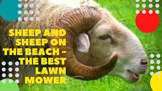 Бараны и овцы на пляже - лучшая газонокосилка Sheep on the beach - the best mower funny animals ビーチ