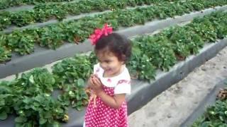 Strawberry Picking Orlando Florida