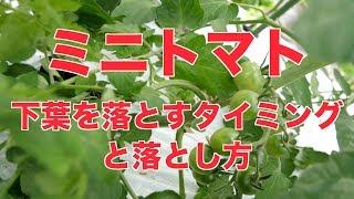 6/14  ミニトマトの下葉を落とすタイミング#403