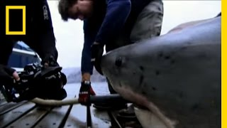 Tagging the Great White | National Geographic